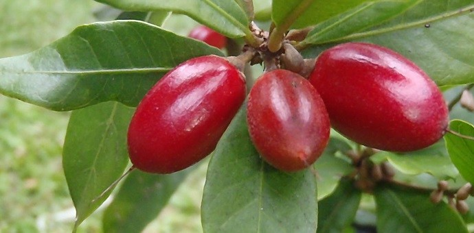 Exotic fruits list: miracle fruit